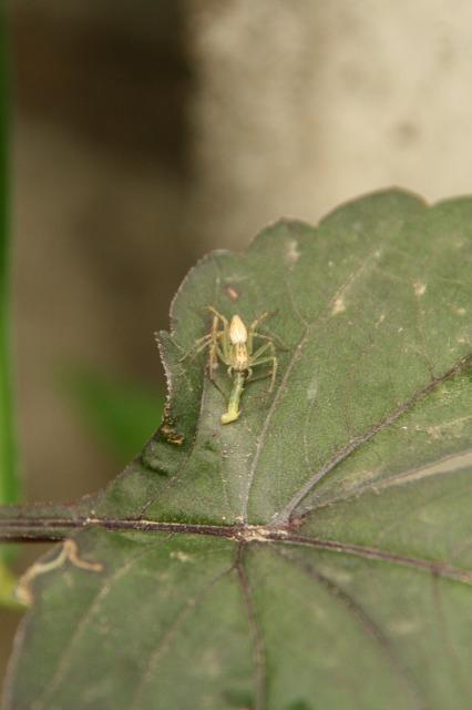 芋虫を捉えたササグモ