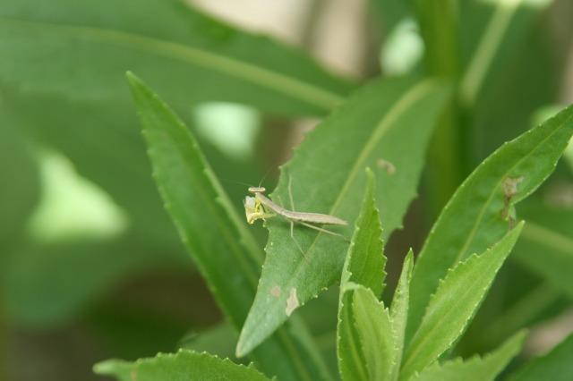 ウンカを捕食するカマキリの幼虫