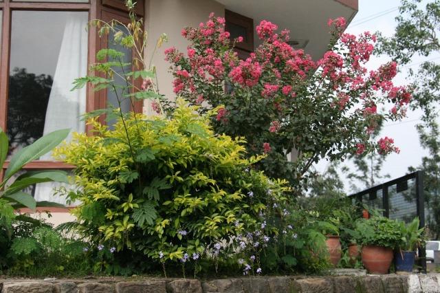 インドの高原地帯に咲くサルスベリ