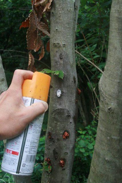 テッポウムシ(カミキリムシの幼虫)が幹を食害する状況と専用薬剤による対処法