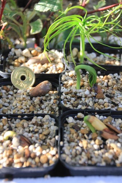 マルチネスピニョンマツの種まき(2)