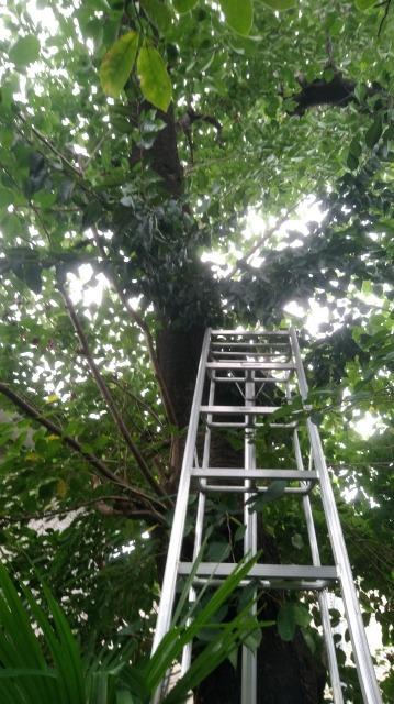 樹齢50年を超えるソメイヨシノの大木に上ります。