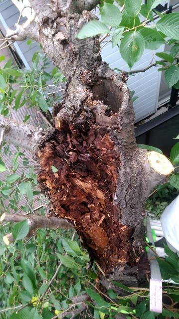 木に上ると、その昔切られた切り口から腐りが入り、至る所が腐っていました。太い枝を途中で切った結果、切口から腐りが入り、太い枝の大半を腐らせてしまいました。