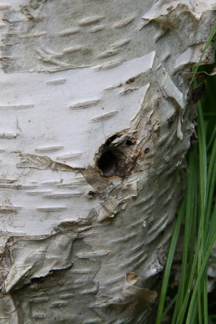ゴマダラカミキリの幼虫が幹の中で蛹になり羽化する時に開けた穴