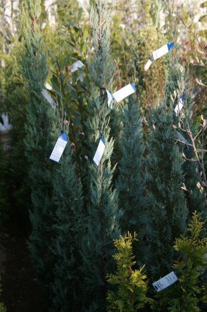 市販の木を見てみましょう。自然樹形のまま放置された植木も目にしますが、写真はしっかりとハサミを入れて手の行き届いた苗木で す
