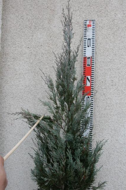 作業1 枝の伸びを確認してどれくらいサイズダウンするか検討します