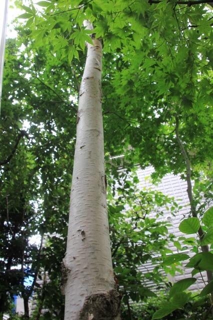 植え17年ほどがすぎる西洋シラカバ ジャクモンディー