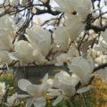 ハクモクレンを小さく維持しながら花を沢山咲かせる剪定