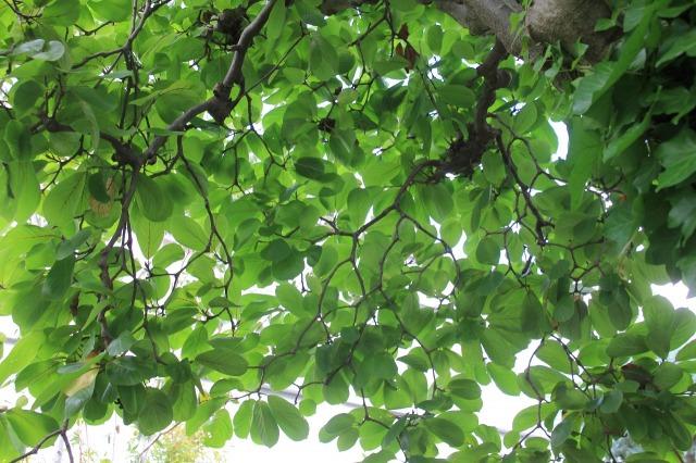 20年剪定を続けた結果出来上がったハクモクレンの枝姿