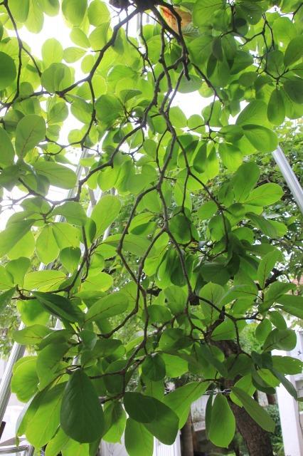 これだけ枝垂れても外側には沢山の花芽が付きます。
