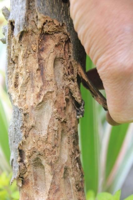 横浜で撮影したオリーブの木